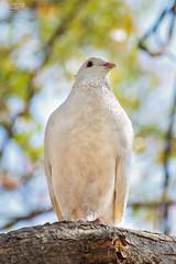 Pigeon Queen 5 (rohangosavi) Tags: birds pigeon white tree birdportraits pigeonqueen