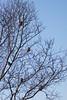 Grote Kruisbek (Loxia pytyopsittacus - Parrot Crossbill) (gipukan (rob gipman)) Tags: grote kruisbek loxiapytyopsittacus parrotcrossbill 177a3751 canon 5d4 eos canon100400lis netherlands birds vogel trek