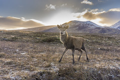 young buck in Glen Coe (Mike Clark 100) Tags: red deer buck antlers moun glen coe sunburst snow scotland inquisitive clouds ice