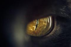 Less Than An Inch (simonpe86) Tags: lessthananinch macro mm macromondays cat eye smallerthananinch inch monday