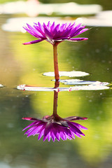 Water Lily (mclcbooks) Tags: flower flowers floral waterlily waterlilies lilypad lilypads water reflections denverbotanicgardens colorado