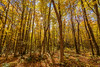 (Clint Everett) Tags: forest woods porcupinewilderness michigan upperpeninsula fall autumn foliage color golden leaves nature sun trees landscape
