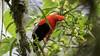 234.1 Rode Rotshaan-20171108-J1711-64825 (dirkvanmourik) Tags: andeancockoftherock aves birdsofperu bosquenublado carreteraamanu gallitodelasrocasperuano nevelwoud peru2017 reisdagcuscomanu roderotshaan rupicolaperuvianus vogel