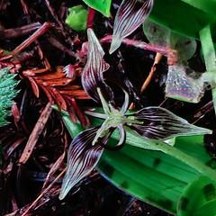 J20180125-0003—Scoliopus bigelovii—RPBG—DxO (John Rusk) Tags: dxofujivelvia50preset dxofilmpack ebparksok taxonomy:kingdom=plantae plantae taxonomy:subkingdom=tracheophyta tracheophyta taxonomy:phylum=magnoliophyta magnoliophyta taxonomy:class=liliopsida liliopsida taxonomy:order=liliales liliales taxonomy:family=liliaceae liliaceae taxonomy:genus=scoliopus scoliopus taxonomy:species=bigelovii taxonomy:binomial=scoliopusbigelovii scoliopusbigelovii californiafetidadderstongue slinkpod taxonomy:common=californiafetidadderstongue taxonomy:common=slinkpod flickerfriday threesacrowd