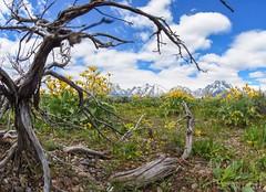 Grand Tetons (drhalsteadphotography) Tags: wildflowers flowers nikon fisheye wood bluesky america landscape nature rocks tree deadtree wyoming mountains