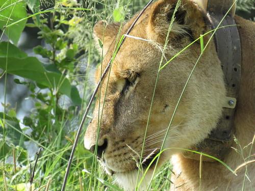 Lion - Hwange - Zimbabwe 2018