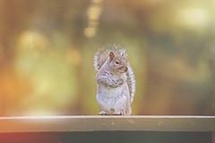Where to next... (Debbie Louise Hutchins) Tags: squirrel tamron 150600mm tamron150600mm wildlife wildlifephotography bokeh march spring woodland nature naturephotography nikon nikond750 fullframe light meadow springwalk animal