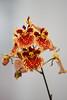 AOS 1.2018-5 (Jordan Cataldo) Tags: aos american orchid society st paul mn winter carnival