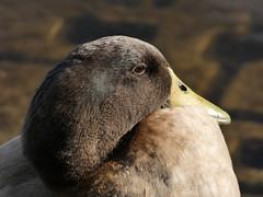 Duck (Deanne Wildsmith) Tags: duck lichfield stowepool earthnaturelife staffordshire
