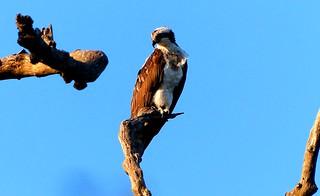 Osprey - Kaziranga National Park - Eastern Himalayas