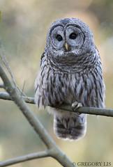 Barred Owl (Gregory Lis) Tags: barredowl strixvaria nikond810 nikon britishcolumbia gorylis gregorylis grzegorzlis owl