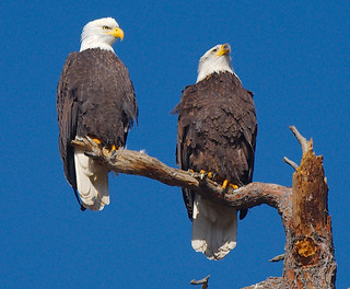 Bald Eagles 1 and 2