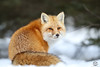 One Last Look (Megan Lorenz) Tags: redfox fox snow winter nature wild wildlife wildanimals algonquinprovincialpark ontario canada mlorenz meganlorenz