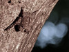 Bat sp., Caroni Swamp, Trinidad (annkelliott) Tags: trinidad island caribbean westindies caroniswamp nature wildlife mammal bat batsp hanging upsidedown tree bark bokeh outdoor 19march2017 fz200 fz2004 panasonic lumix annkelliott anneelliott ©anneelliott2017 ©allrightsreserved
