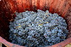 Verema Ull de Llebre 2017. (Angela Llop) Tags: catalonia torrellesdefoix grape winelovers barcelona winemakers penedès