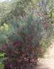 Grevillea oligomera, Kings Park, Perth, WA, 20/11/17 (Russell Cumming) Tags: plant grevillea grevilleaoligomera proteaceae kingspark perth westernaustralia