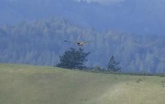 Red-tailed Hawk 2/18/2018 (Buteo jamaicensis) (BobcatWeather) Tags: bird raptor accipitridae birdofprey buteojamaicensis redtailedhawk santacruzmountains sanmateocounty california usa bobcatweather georgiastigall fwnp
