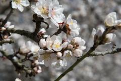 DSC_1185 (rskim119) Tags: fresno fruit tree blossom flower trail spring