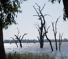 Lake Mulwala (laurie.g.w) Tags: glittery lakemulwala mulwala waterway trees deadtrees nsw victorian border