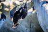 Coming In For A Landing (halladaybill) Tags: brandtscormorant lajolla cormorant sandiegocounty california nikond850 nikkor80400zoomlens nesting cove lajollacove bird