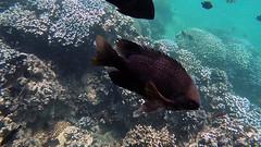 Damsel, Multispine (Insequent) Tags: damselfishespomacentridae lordhoweisland newsouthwales australia