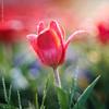 simply Tulip - Tulpe (tulpe-production.de) Tags: macro trioplan tulip tulpe red spring bokeh sun nikond750