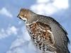 Tetrastes bonasia (kaius.artimo) Tags: tetrastesbonasia hazelgrouse male angrybird pyy helsinki