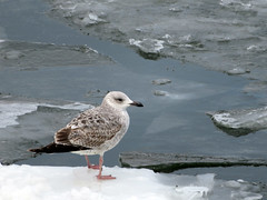 Seagull on the ice (Oleg Elkov) Tags: seagull ice water sea arctic floe gull north northern herringgull bird nature ocean white wildlife lake coast beak wild river shore wing feather fly cold melting spring larusargentatus