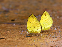 Common Grass Yellow (chaz jackson) Tags: commongrassyellow euremahecabe pieridae coliadinae butterfly insect vietnam yellow grass