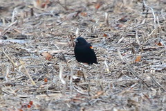 Red-winged Blackbird (astro/nature guy) Tags: illinoisbird bird homerlakebird homerlake blackbird redwingedbalckbird