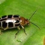 Leaf beetle, Exora olivacea, Chrysomelidae thumbnail