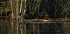 Waterral - Water Rail - Rallus aquaticus --6315 (Theo Locher) Tags: waterral waterrail wasserralle raledeau rallusaquaticus vogels birds vögel oiseaux netherlands nederland copyrighttheolocher