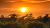 africa at its best side (bocero1977) Tags: africa landscape sunset dawn mood outdoor clouds sun wild wildlife animal savanna 2018 trees colors tanzania safari giraffe light sky