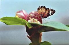 fairy (omnia_mutantur) Tags: fiore flower fleur flor farfalla butterfly mariposa papillon borboleta natura natureza naturaleza nature saintmartin caraibi caribe caribbean antille antillas antilles quartierdorleans francia france frança caraïbes animale animal sintmaarten thebutterflyfarm