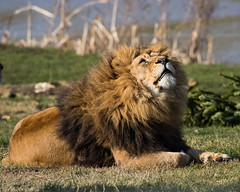 Skywatcher (jeffallsebrook) Tags: lion bigcats ywp yorkshirewildlifepark nature canon ijwtgp