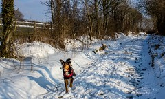 coming down the lane (allybeag) Tags: tallentirehill snow winter sunny snowdrifts kiri dog lane trees path