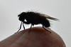 Cluster fly (conall..) Tags: cluster fly clusterfly pollenia polleniasp finger onfinger