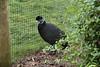 Chester Zoo (368) (rs1979) Tags: chesterzoo zoo chester tsavobirdsafari guineafowl