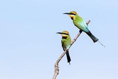 Rainbow Bee-eater (Merops ornatus) (Ian Colley Photography) Tags: rainbowbeeeater meropsornatus goldcoast queensland bird canoneos7dmarkii ef500mmf4lisusm