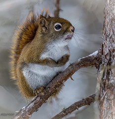 A Snub (maureen.elliott) Tags: redsquirrel animal wildlife algonquinpark inatree snub
