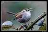 Bewick's Wren singing-1 (billthomas_steel) Tags: thryomanesbewickii bewickswren wren bird britishcolumbia singing wildlife winter canon eos7dmarkii canada blackberrybush fraservalley
