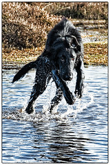 One Giant Leap....(3/52) (Missy2004) Tags: nikkorafs18140mmf3556gedvr flatcoatedretriever tiva puddle leap 52weeksfordogs explored