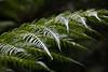 """Simplicity is the ultimate sophistication."" - Leonardo da Vinci (johnshlau) Tags: simplicityistheultimatesophistication leonardodavinci simplicity sophistication walking walk hiking hike fern ferns rainforests forests leaves green greenery mtfieldnationalpark nationalpark park nature hobart tasmania australia"