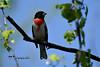 Rose-breasted Grosbeak DSC_3051 (Ron Kube Photography) Tags: bird birds finch rosebreastedgrosbeak alberta southernalberta nikon nikond500 canada nature fauna ornithology d500 ronaldok globalbirdtrekkers pheucticusludovicianus ronkubephotography