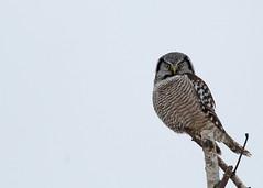 Northern Hawk Owl...#5 (Guy Lichter Photography - 3.7M views Thank you) Tags: canon 5d3 canada manitoba wildlife animal animals bird birds owl owls northernhawkowl