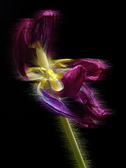 Tulipe variation 1 (JMVerco) Tags: création creative creazione photomanipulation digitalart fleur flower fiore coth