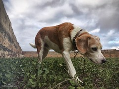 Sniffing (Carmen Cabrera .) Tags: doglife animal exterior outdoor sniff olisquear grass hierba invierno winter clouds nubes nublado cloudy nature naturaleza verde green mascotas pets mobilephotography iphone6s iphoneonly iphoneography infinitexposure