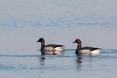 Brants (mattbpics) Tags: brant goose geese shore marsh canon 70d tamron 150600 150600mm stewartbmckinney nwr