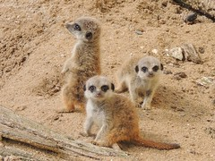 Compare the Meerkats (baby Oleg & co) (Kevin Pendragon) Tags: meerkats fur tail eyes alert grey brown sand outdoors screechowlsanctuary cornwall summer
