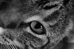 Eye spy (Images by Jeff - from the sea) Tags: blackandwhite cat kitten moggy nikon tamronsp90mmf2811macro d5500 7dwf eyes upclose contact crazytuesdaytheme pet